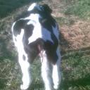 Tympany In Calves