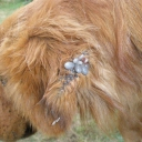 Tick infestation in a dog