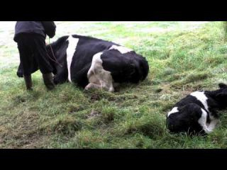 Cow With Milk Fever
