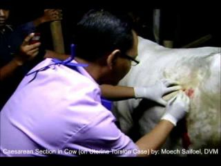 Caesarean Section in Cow (on Uterine Torsion Case)