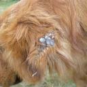 Tick infestation in a dog