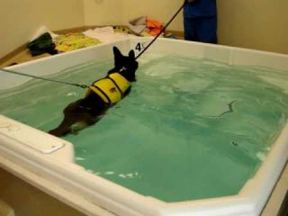 German Shepherd Dog at Rehab Therapy after ACL Surgery (TTA Version) - Video 4 of 10 - Floppycats